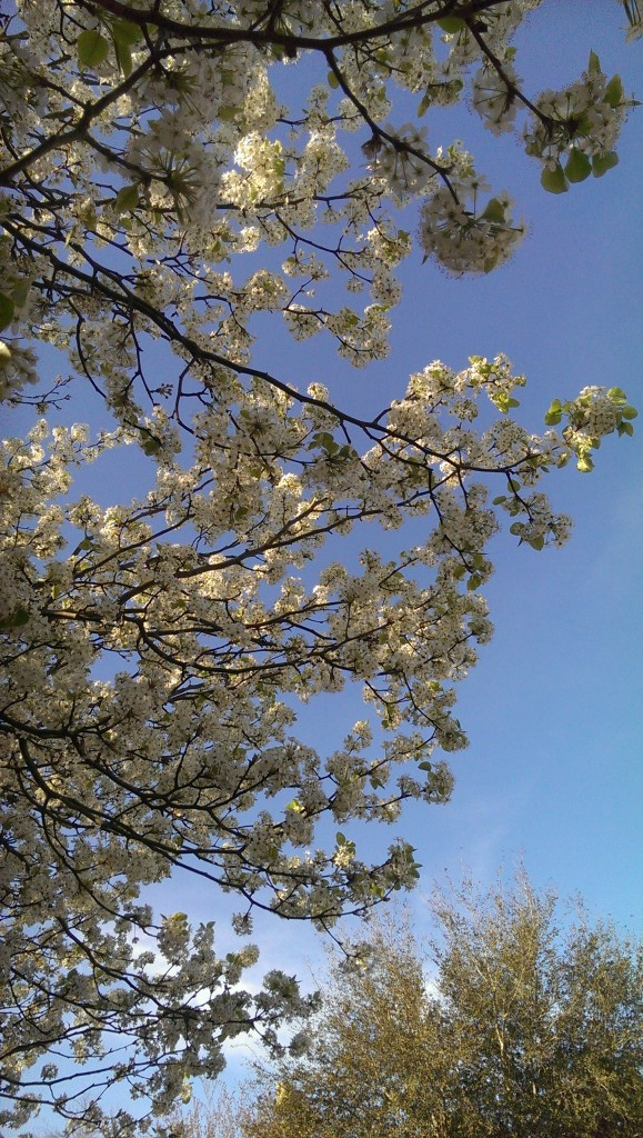 PHOTO OF Bradford pear